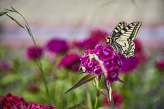 Yellow swallowtail butterfly butterfly on a flower in the garden. Yellow swallowtail butterfly with black spots sitting on a flower and drinking nectar from a royalty free stock photography