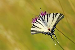 Yellow swallowtail butterfly, Iphiclides podalirius stock photography