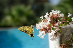 Yellow swallowtail butterfly Royalty Free Stock Image