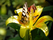 Yellow Swallowtail Butterfly on open yellow lily with buds. Butterfly resting on lily closeup with dappled sunlight on flower showing stamen and leaves. Blurred Stock Images