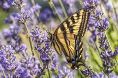 Swallowtail butterfly on lavender flowers. A yellow swallowtail butterfly, papilio multicaudata, on a lavender flower in north Idaho stock photos