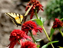 Yellow Swallowtail butterfly on red flowers Stock Image