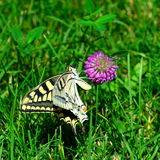 Yellow Swallowtail butterfly on a rosy flower on green grass background Royalty Free Stock Photos