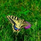 Yellow Swallowtail butterfly on a rosy flower on green grass background Royalty Free Stock Photography