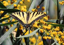 Yellow swallowtail butterfly on yellow flowers royalty free stock photo