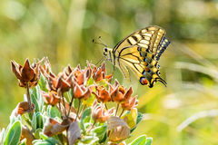 Yellow Swallowtail Royalty Free Stock Photo