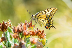 Yellow Swallowtail Royalty Free Stock Images