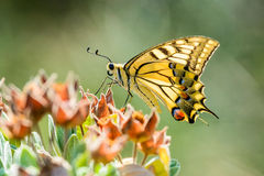 Yellow Swallowtail Stock Photos