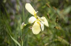 Yellow Swamp Flower. Close-up of a pretty, yellow swamp flower royalty free stock photography