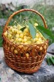 Yellow sweet cherries Stock Photos
