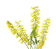 Yellow Sweet Clover Sprigs Stock Photos