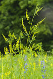 Yellow Sweet Clower or ribbed melitot, Melilotus officinalis, blooming in wild close-up with bokeh background Stock Photos