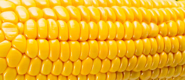 Yellow sweet corn on the background Stock Photography