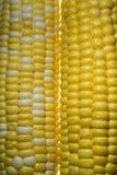 Yellow sweet corn Stock Image
