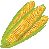 Yellow sweet corn Stock Photos