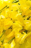 Yellow sweet pea background. Close up of yellow sweet pea Royalty Free Stock Photos