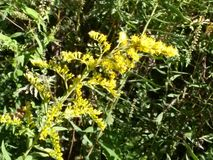 Yellow Sweetclover by Tennessee River Royalty Free Stock Images