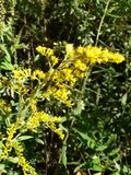Yellow Sweetclover by Tennessee River. Yellow sweetclover picture taken by Tennessee River 2014 Royalty Free Stock Photography