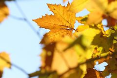Yellow sycamore leaves in autumn on blue sky background. Yellow sycamore leaves in autumn in the sunlight on blue sky backgroun royalty free stock images