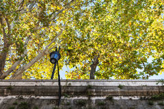 Yellow sycamore trees over walls of Tiber River Stock Image