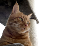 Yellow Tabby Cat Royalty Free Stock Photo