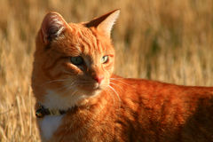 Yellow Tabby Cat In Field. Yellow tabby cat in autumn grass hunting Stock Photos