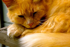 Yellow Tabby Cat Royalty Free Stock Photos