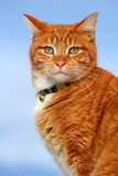 Yellow Tabby Cat Looking 11. Yellow tabby cat looking for prey in winter Royalty Free Stock Images