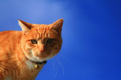 Yellow Tabby Cat Looking Royalty Free Stock Image