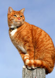 Yellow Tabby Cat Looking 5 Royalty Free Stock Images