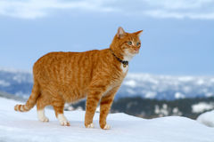 Yellow Tabby Cat Looking 8. Yellow tabby cat looking for prey in winter Royalty Free Stock Photo