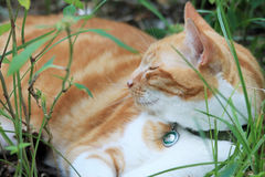 Yellow tabby resting stock photography