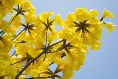 Yellow Tabebuia and bicycle Stock Photography