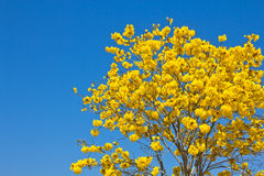 Yellow tabebuia flower Stock Photography