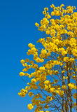Yellow tabebuia flower Royalty Free Stock Images