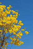 Yellow tabebuia flower Royalty Free Stock Image