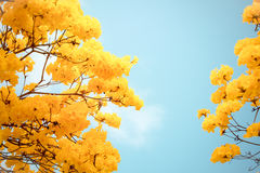 Yellow tabebuia flower blossom Stock Photography
