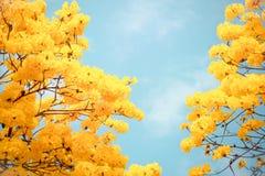 Yellow tabebuia flower blossom Stock Image