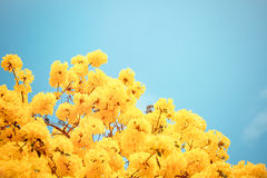 Yellow tabebuia flower blossom Stock Images
