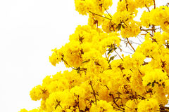 Yellow tabebuia flower blossom on white background Royalty Free Stock Image