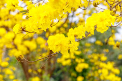 Yellow tabebuia flower blossom on white background Stock Photography