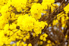 Yellow tabebuia flower blossom on white background Royalty Free Stock Photo
