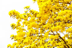 Yellow tabebuia flower blossom on white background Royalty Free Stock Photography
