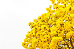 Yellow tabebuia flower blossom on white background Royalty Free Stock Photos