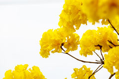 Yellow tabebuia flower blossom on white background Stock Images