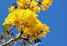 Yellow tabebuia flower tree Royalty Free Stock Images