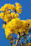 Yellow tabebuia flower in vertical Stock Images