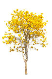 Yellow tabebuia flower Stock Image