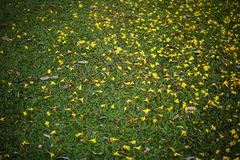 Yellow tabebuia flowers splattered on the green grass in the park. Background of yellow flowers and dry leaves on the ground. May use for natural background Royalty Free Stock Photography