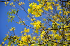 Yellow tabebuia (roble) background focus in center Royalty Free Stock Images